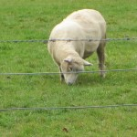 Portobello, Otago Peninsula: Sheep